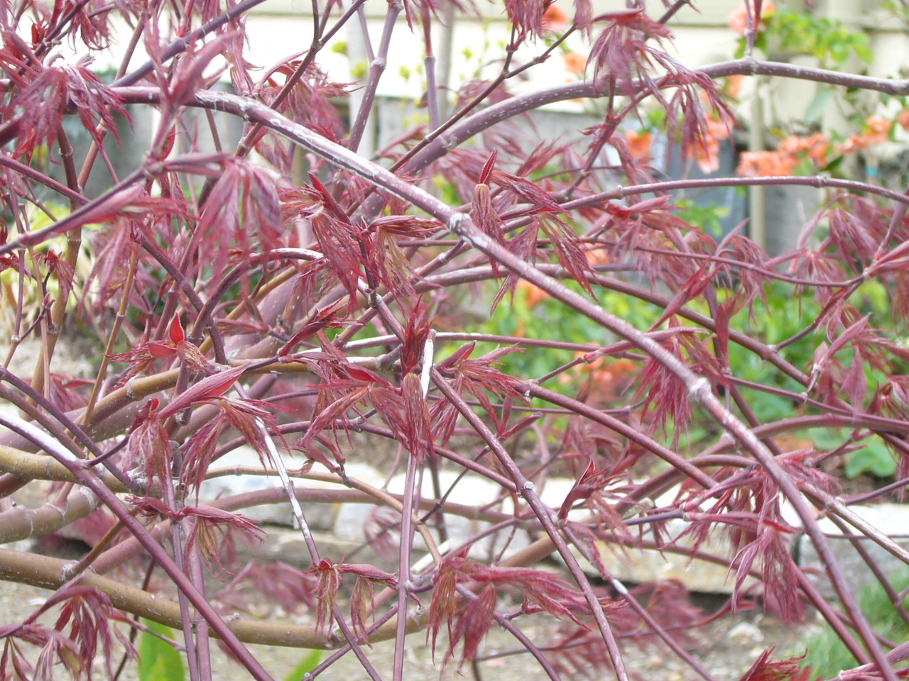 Red dragon with new leaves emerging