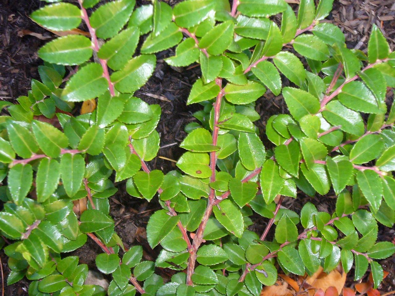 Evergreen Edibles Berries Fresh By Northwest