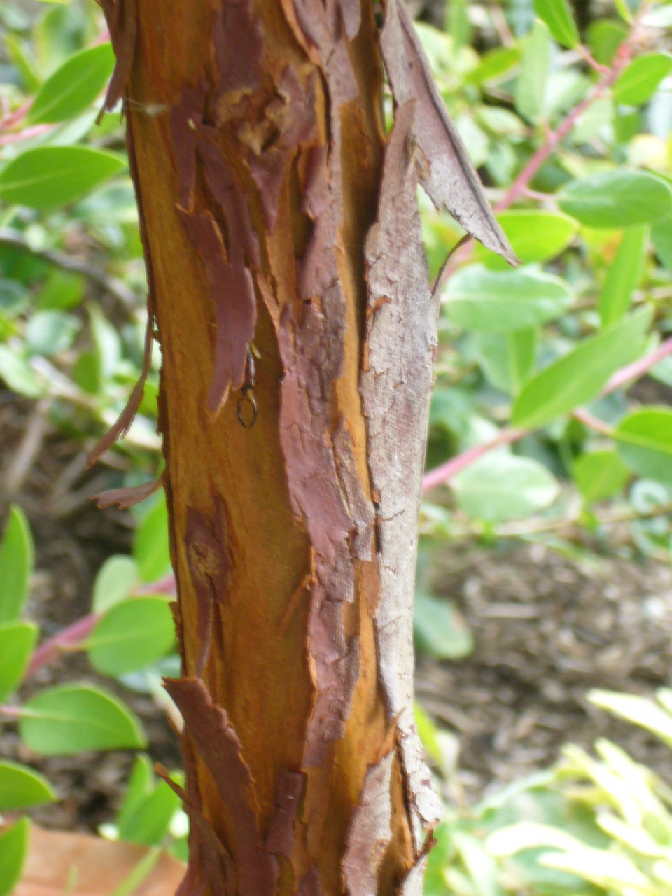 "Bark of the Arbutus ""Marina"""