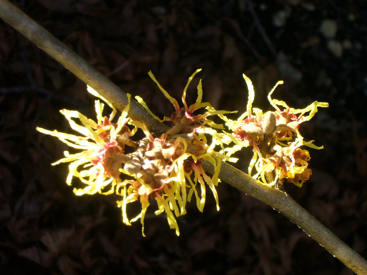 Hamamelis Mollis - Chinese Witch Hazel