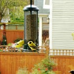 american-goldfinch-3-150x150