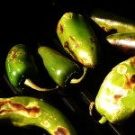 roasted-hatch-peppers-closeup-2-150x150