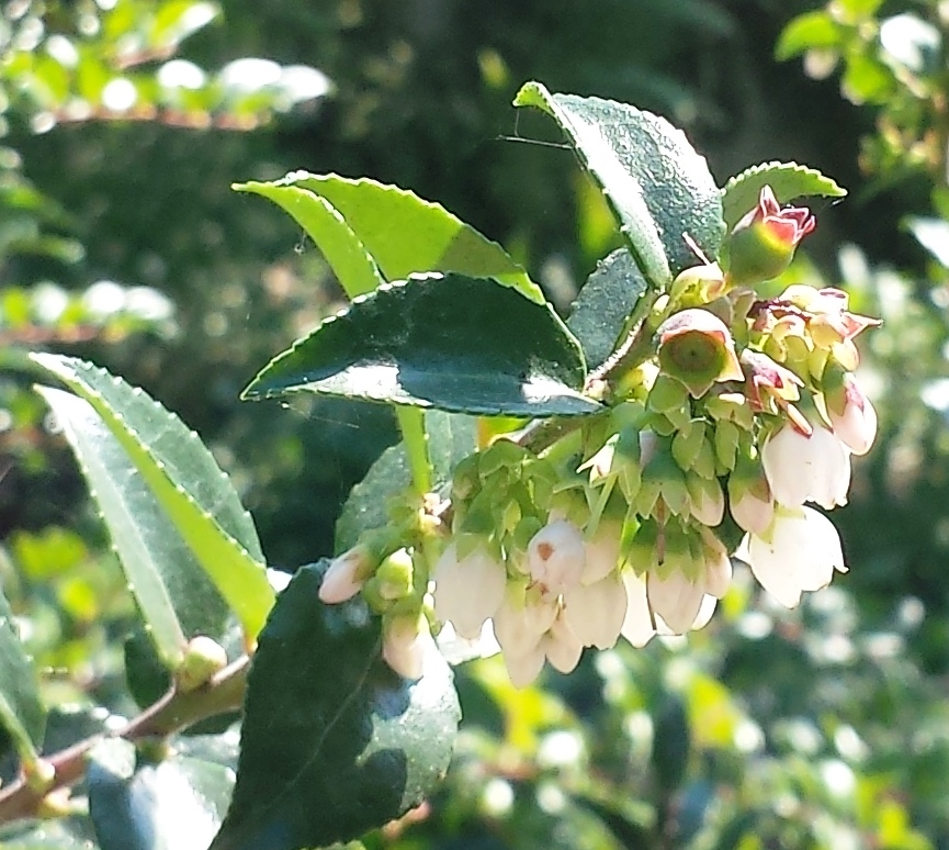 Blooms and berries of Vaccinium Ovatum