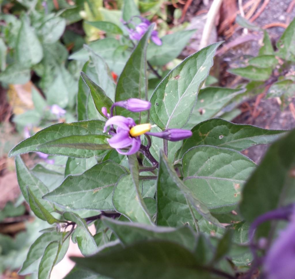 Deadly nightshade flower