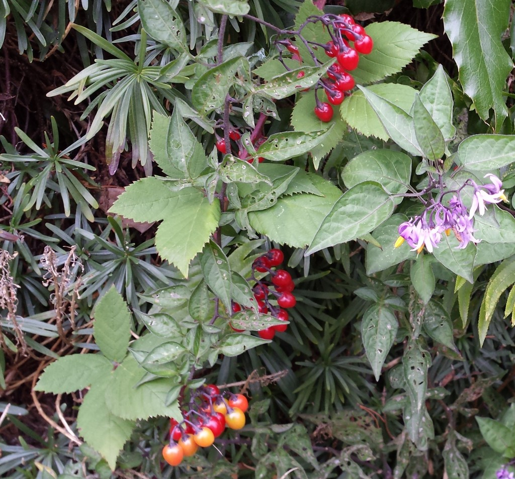 Deadly nightshade hiding out in rockery with blackberries