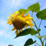 sunflower-sky-150x150