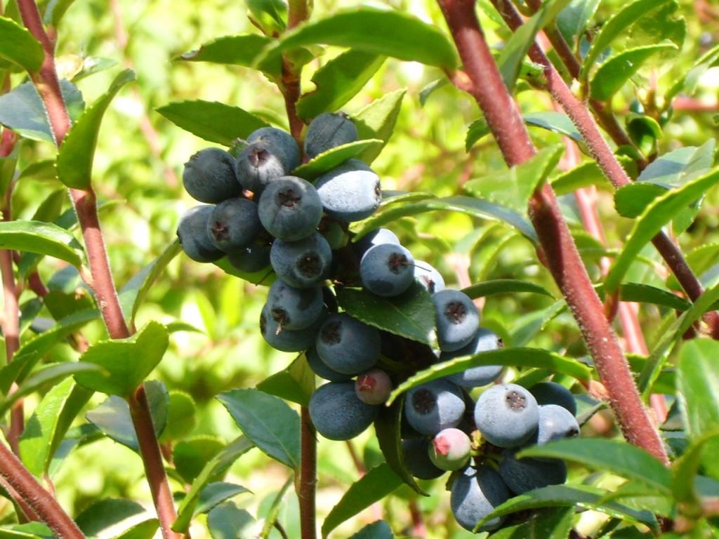 vaccinium ovatum with berries 6