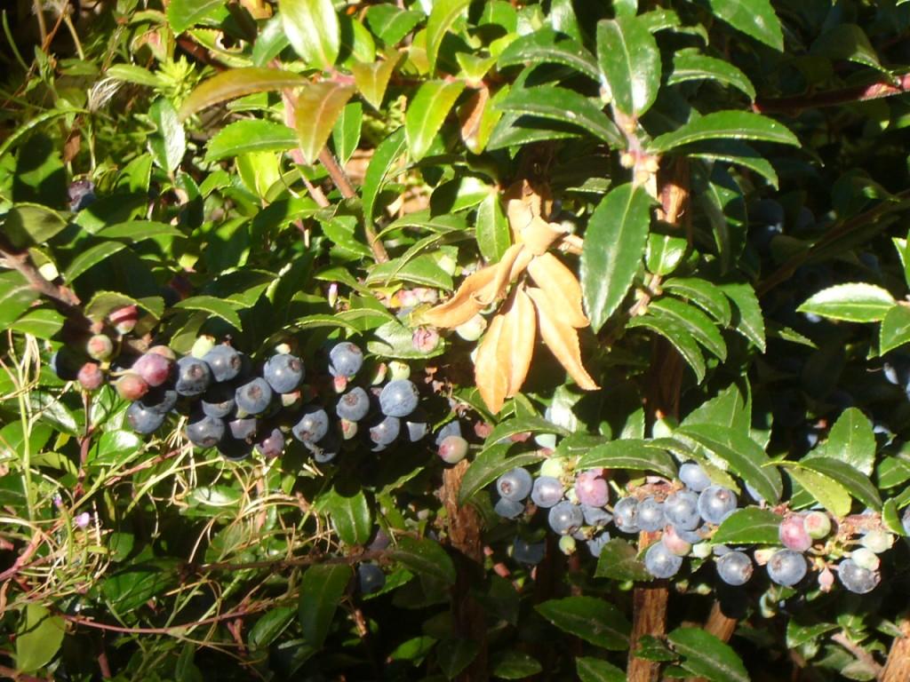 vaccinium ovatum with berries3
