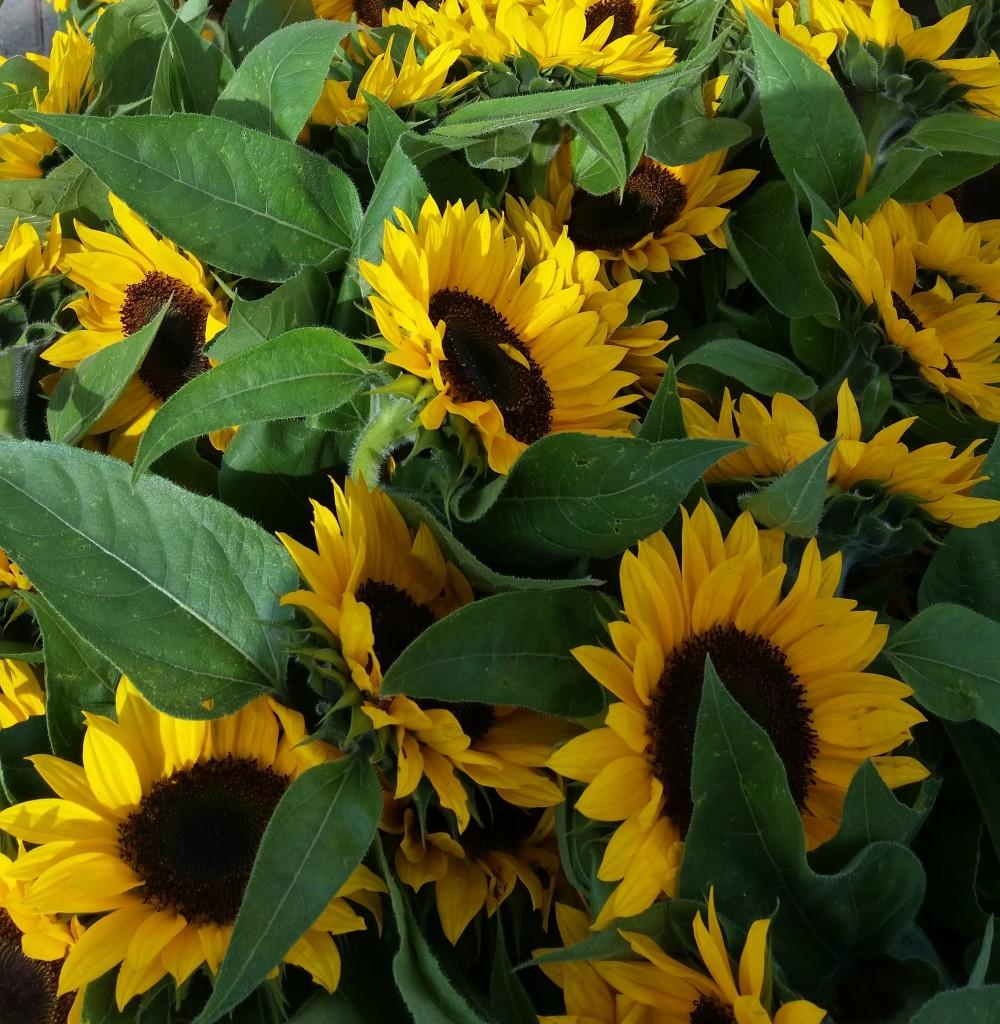 SLU Sunflowers 2