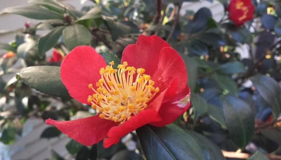 camellia sasanqua yuleide