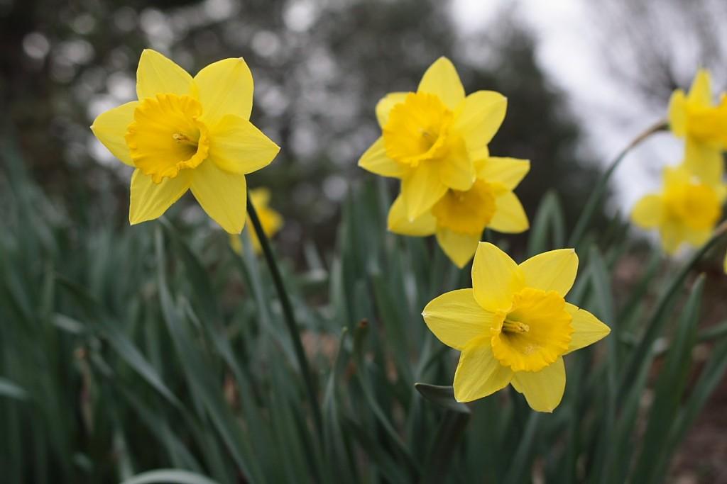 Цветы и растения стали символами государств гораздо раньше, чем появились официальные эмблемы страны - флаг и герб
