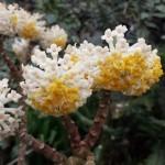Edgworthia-chrysantha-closeup-150x150