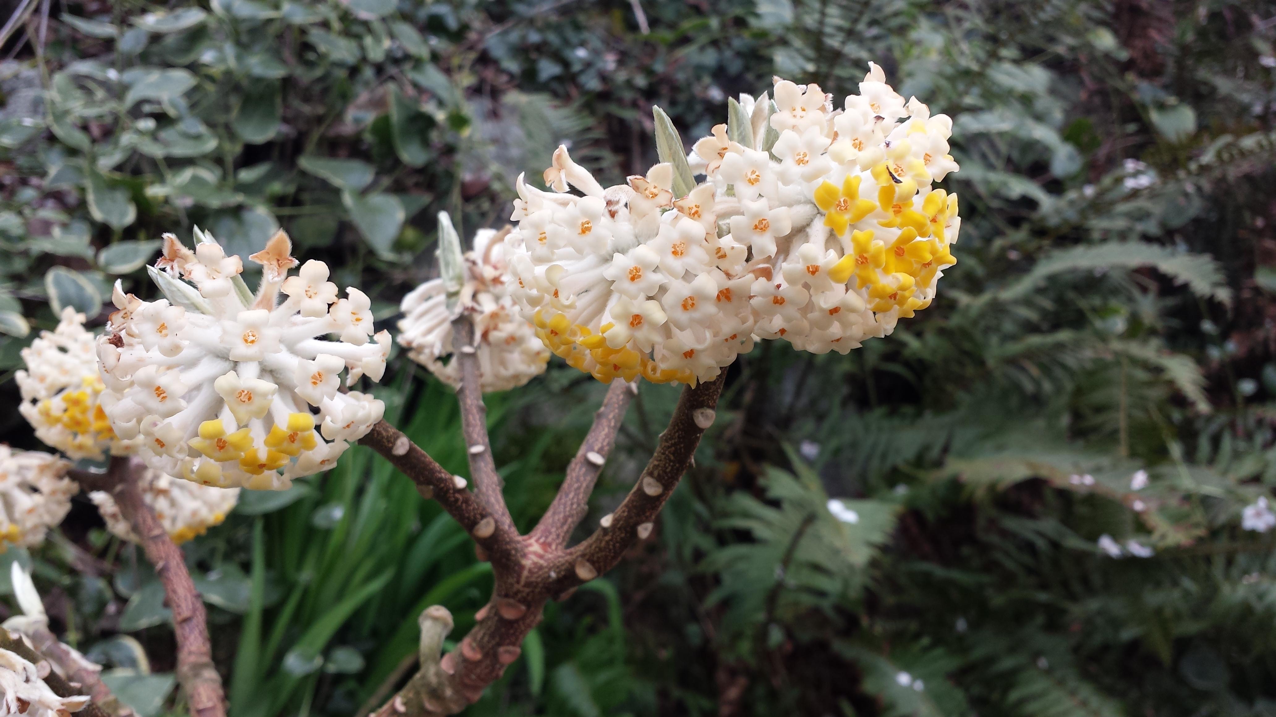 Edgworthia chrysantha closeup 2