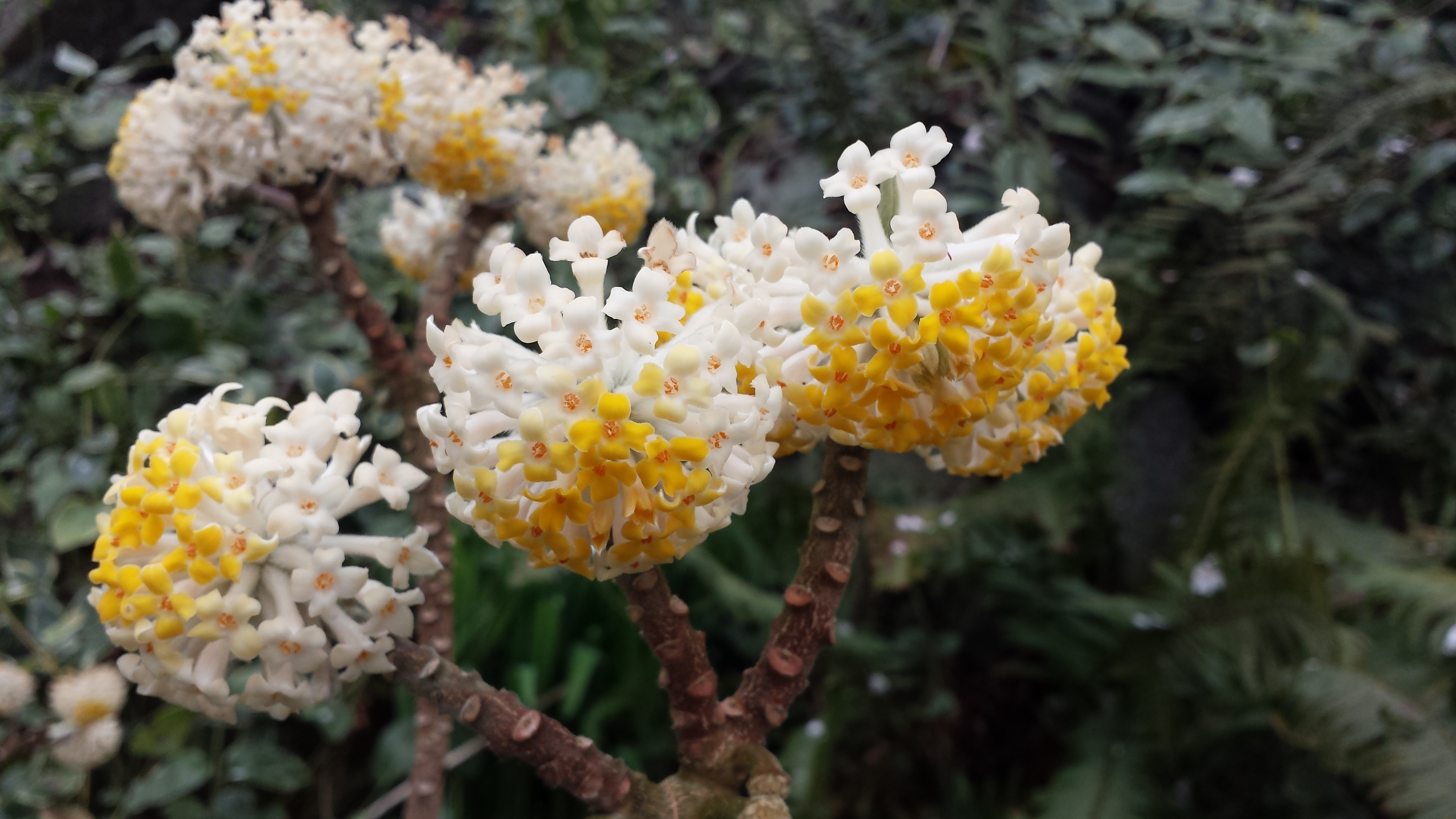 Edgworthia chrysantha closeup