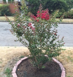 Dynamite crapemyrtle featured