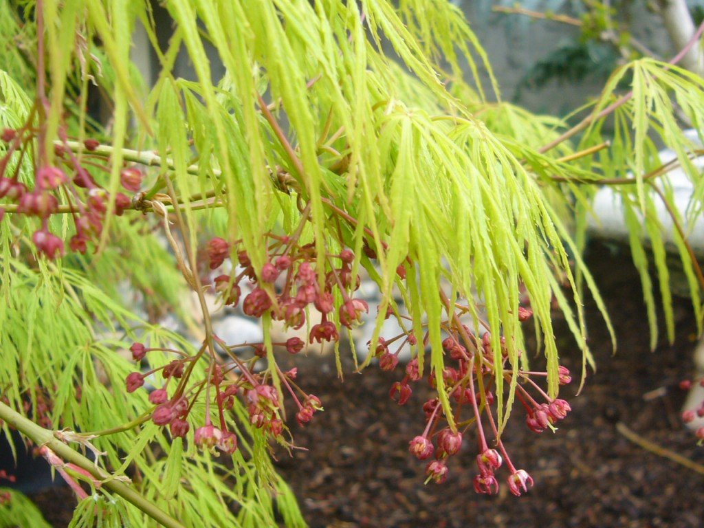 """The delicate yellow green of the Japanese laceleaf maple """"Viridis"""" will darken slightly in summer"""