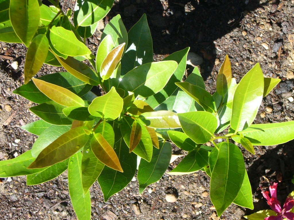 Umbellularia Californica (Oregon Myrtle)