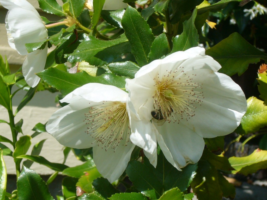 Eucryphia x Nymansay in bloom with bee visitor