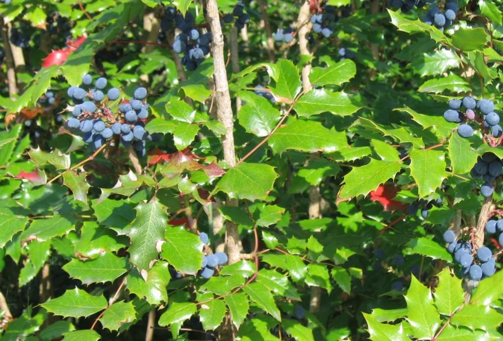 """Mahonia aquifolium """"Oregon Grape"""""""