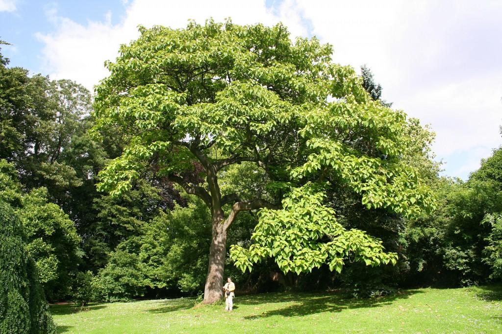 Paulownia tomentosa. Photo from Wikipedia.