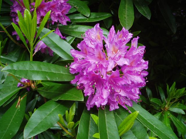 Rhododendron. Photo from Wikipedia.