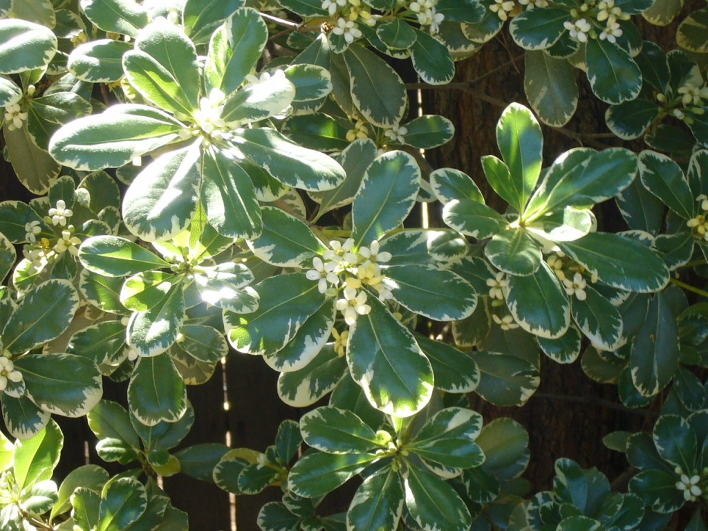 Pittosporum tobira variegata or Japanese Mock Orange