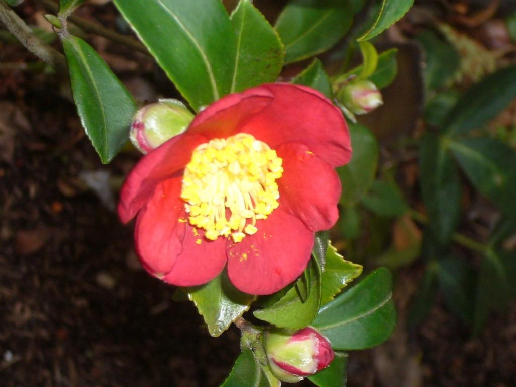 """Camellia Sasanqua """"Yuletide"""""""