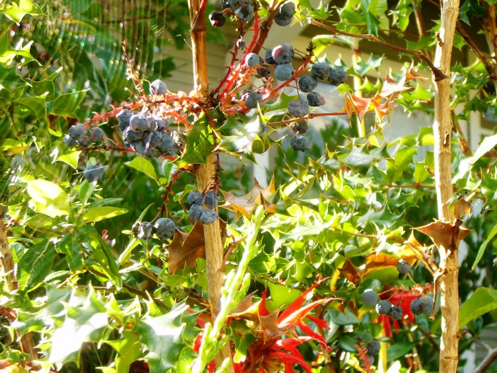 Grapes with spider web
