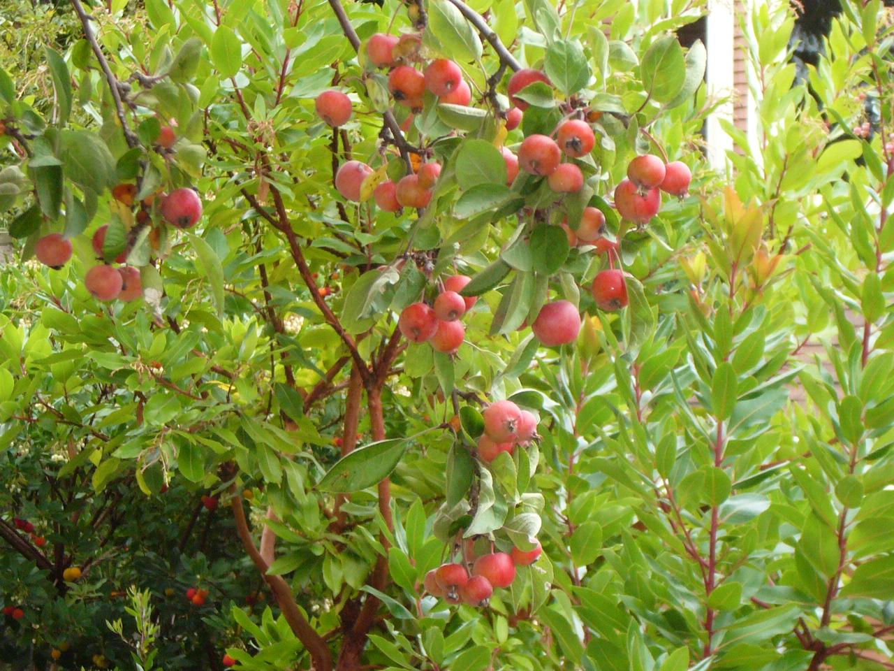 Malus Everest Crab Apple Tree