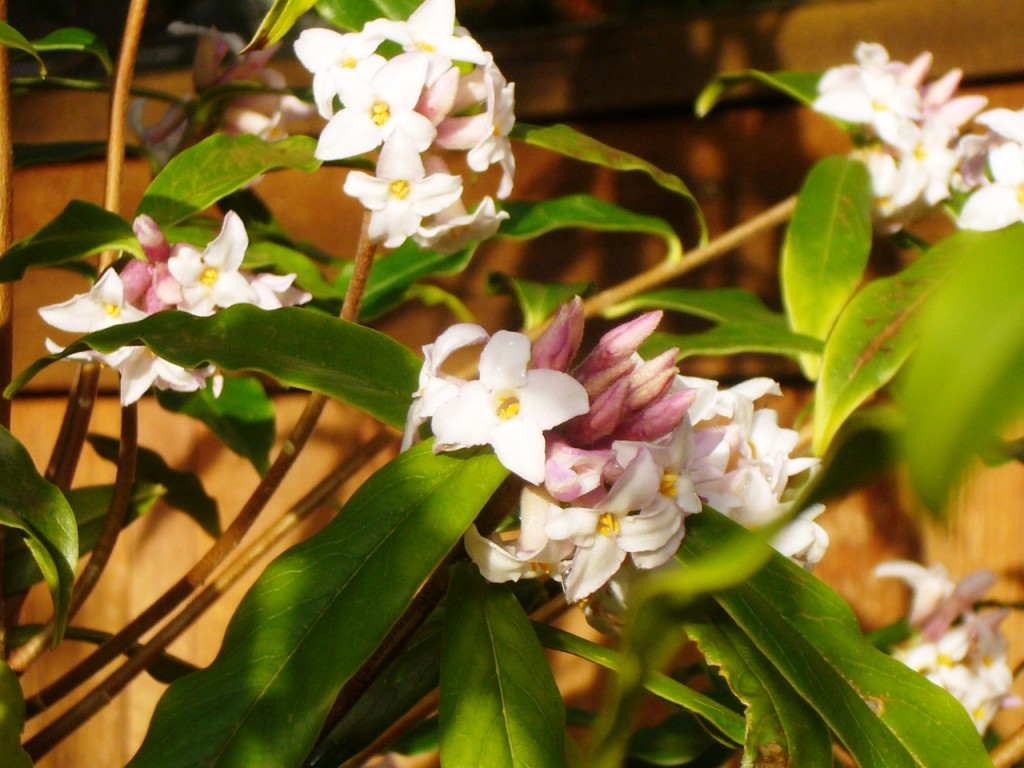 "Daphne bholua ""Jacqueline Postill"" in bloom"