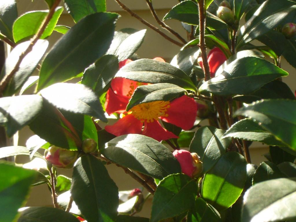 Yuletide Camellia closeup 1