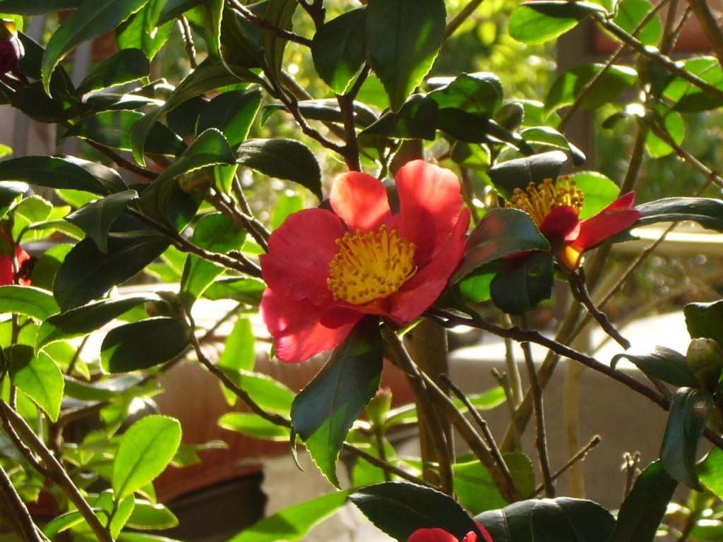 Yuletide Camellia closeup 2
