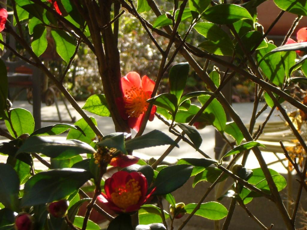 Yuletide Camellia in the sun