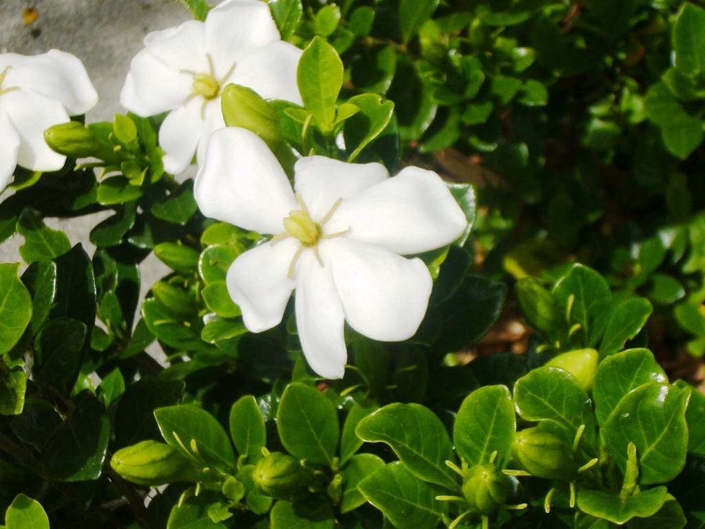 Gardenia closeup 2014