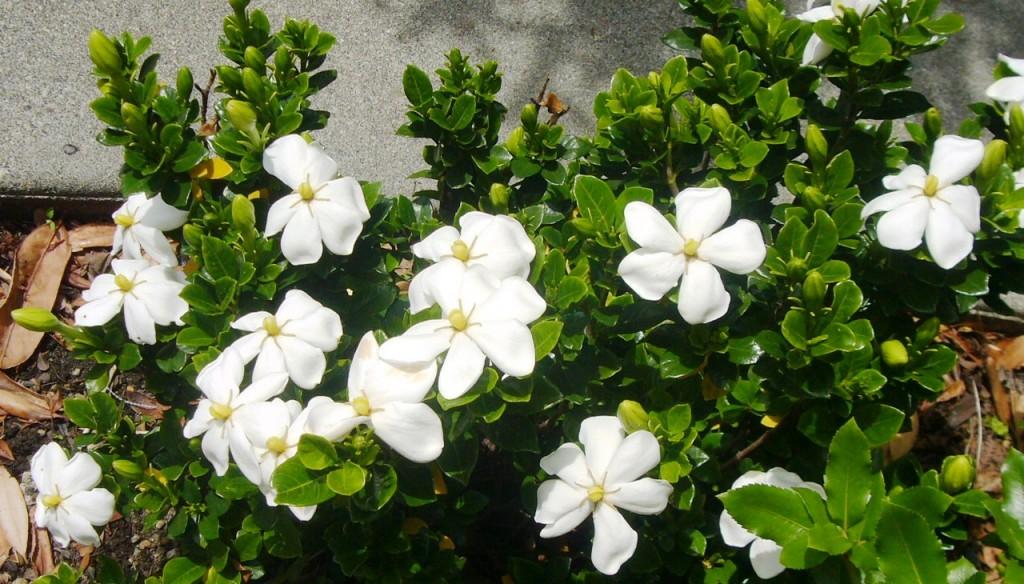 Gardenia hedge 2 2014