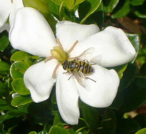 "Gardenia jasminoides ""Kleim's Hardy"""