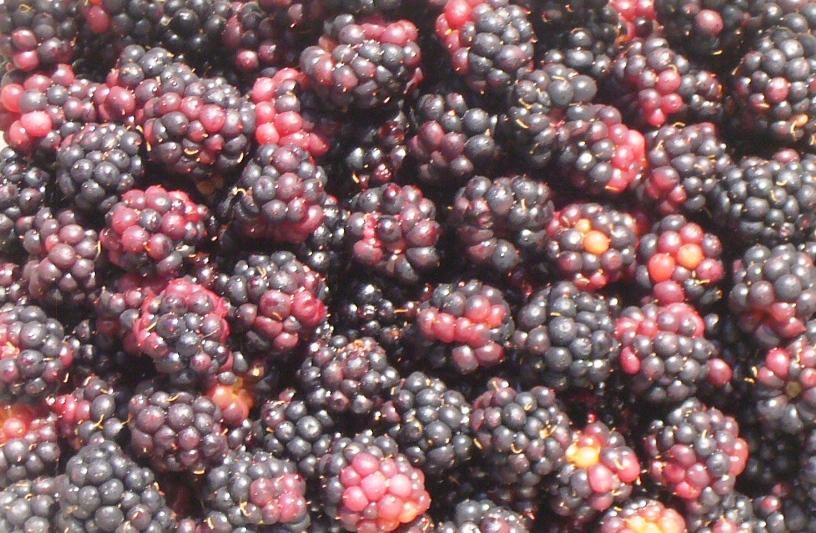 himalayan blackberries