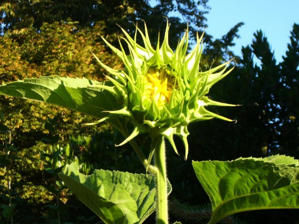 Mammoth Sunflower Opening
