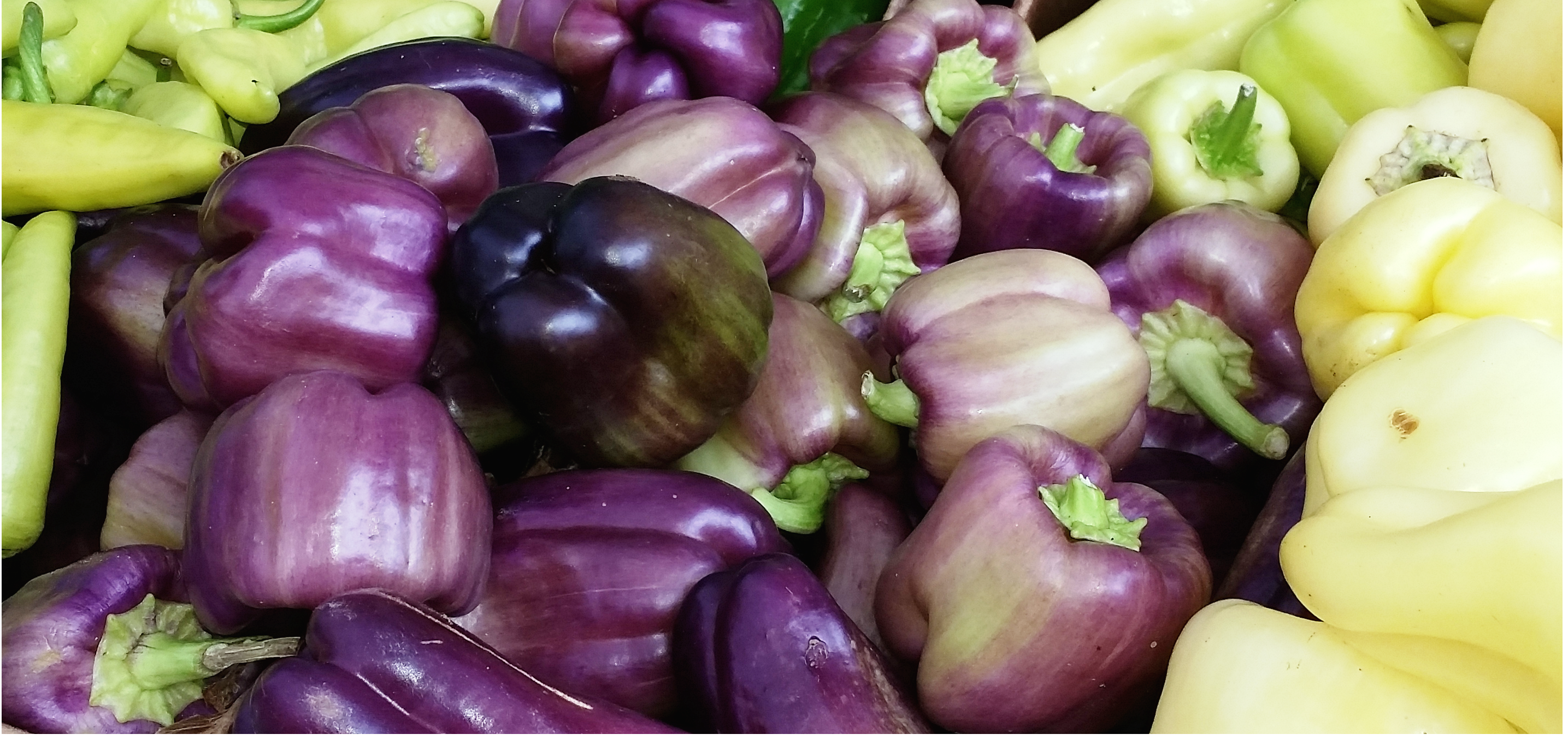 Organic purple bell peppers on sale at the SLU Farmer's Market in mid-August. Seattle 2014