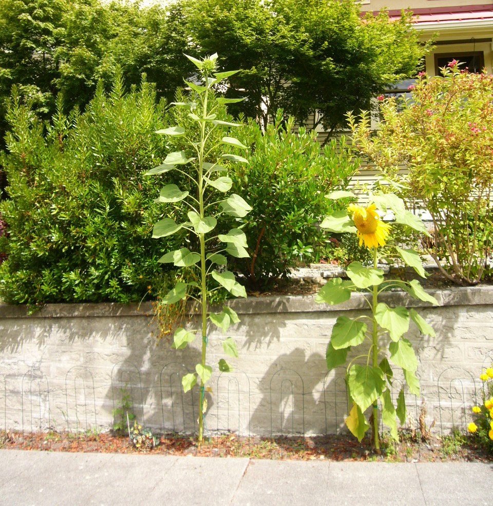 Eleven foot tall sunflower hasn't opened yet