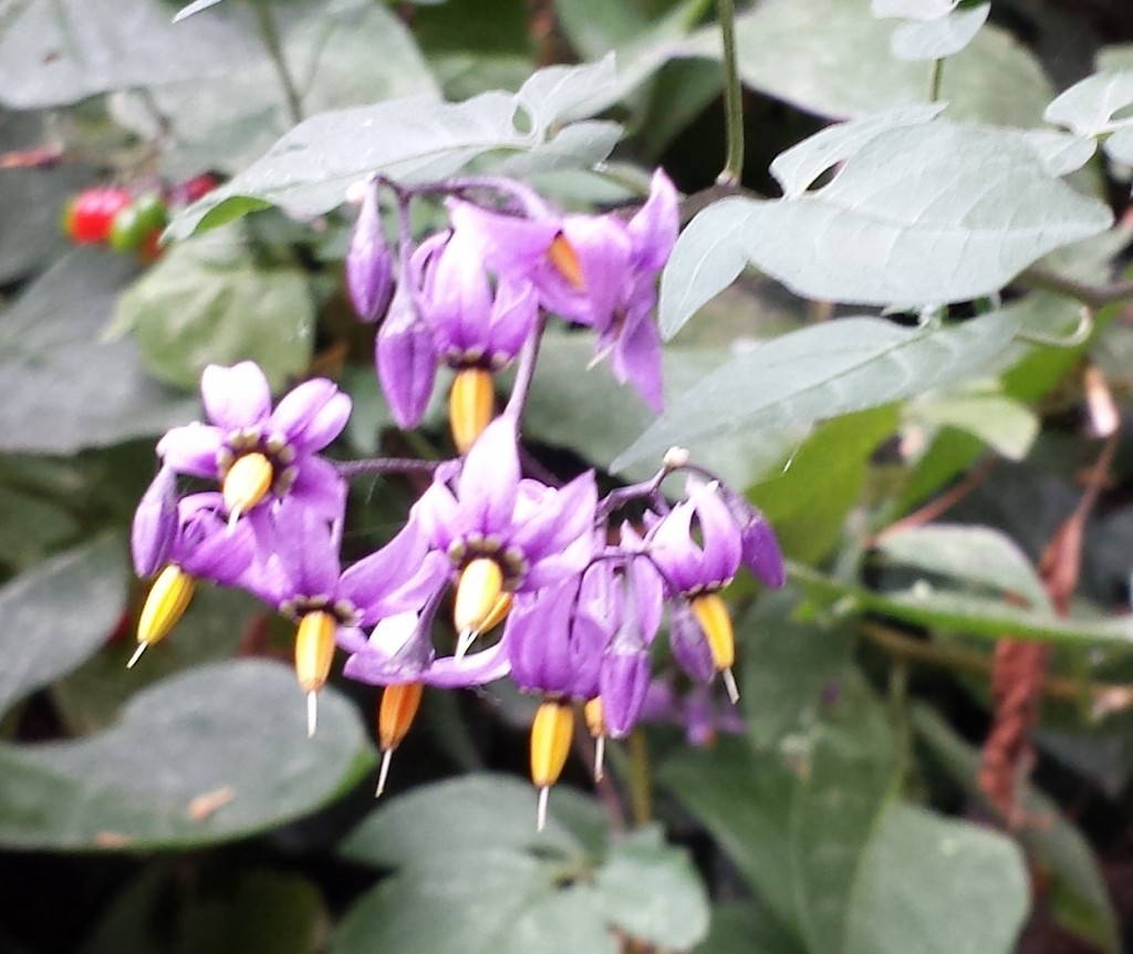 Deadly nightshade flowers