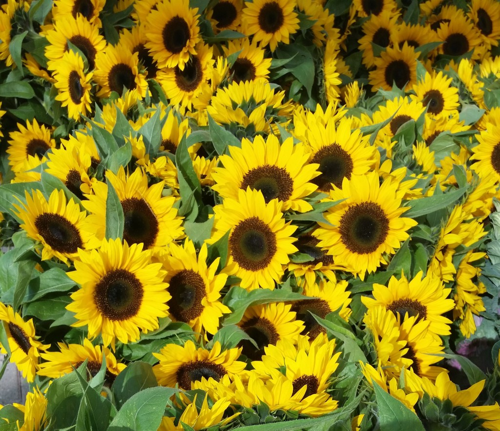 SLU Sunflowers 1