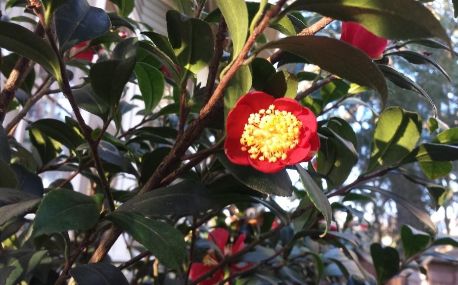 camellia sasanqua yuletide 2