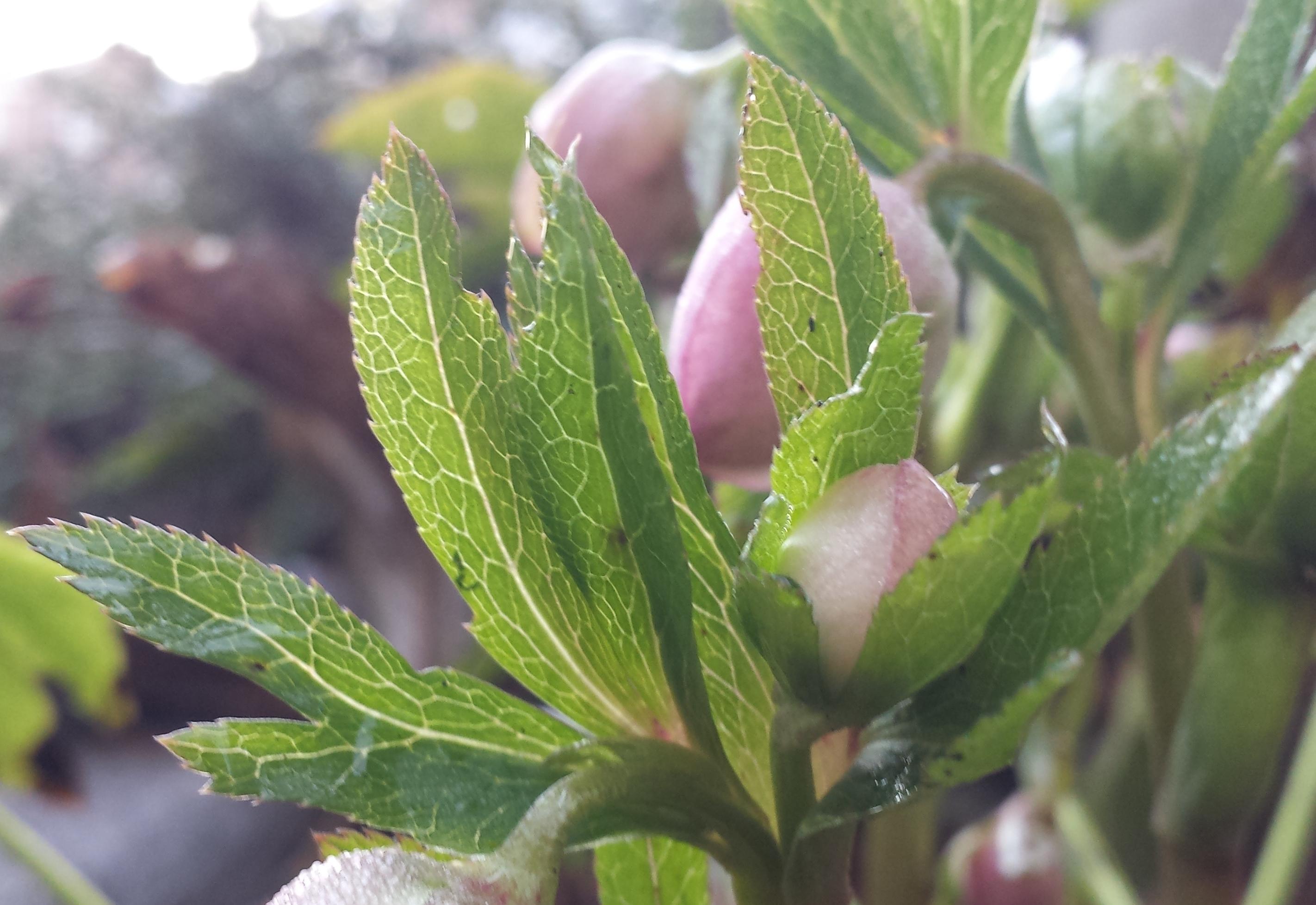 helleborus orientalis mardi gras double