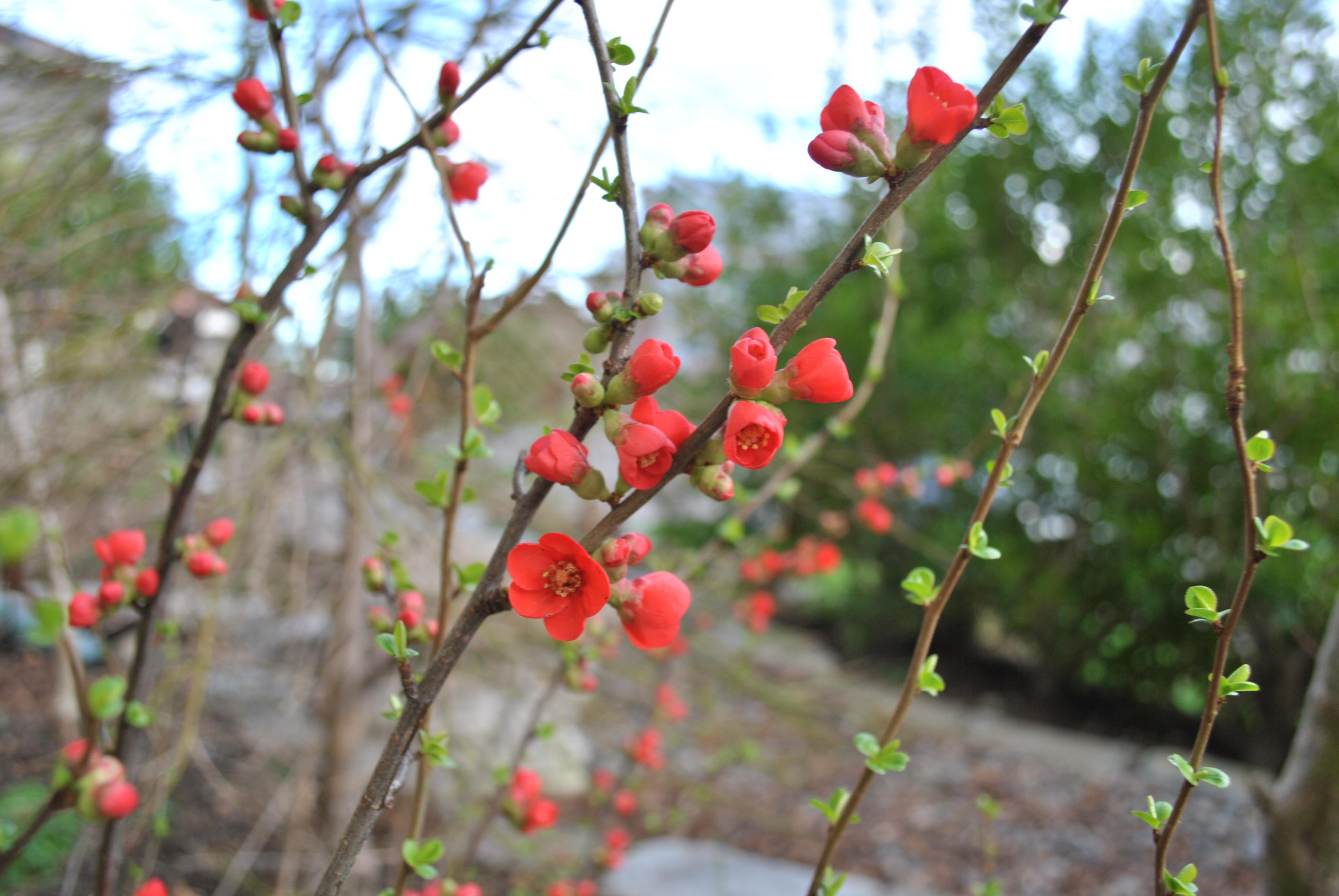 Chaenomeles japonica Fuji 2