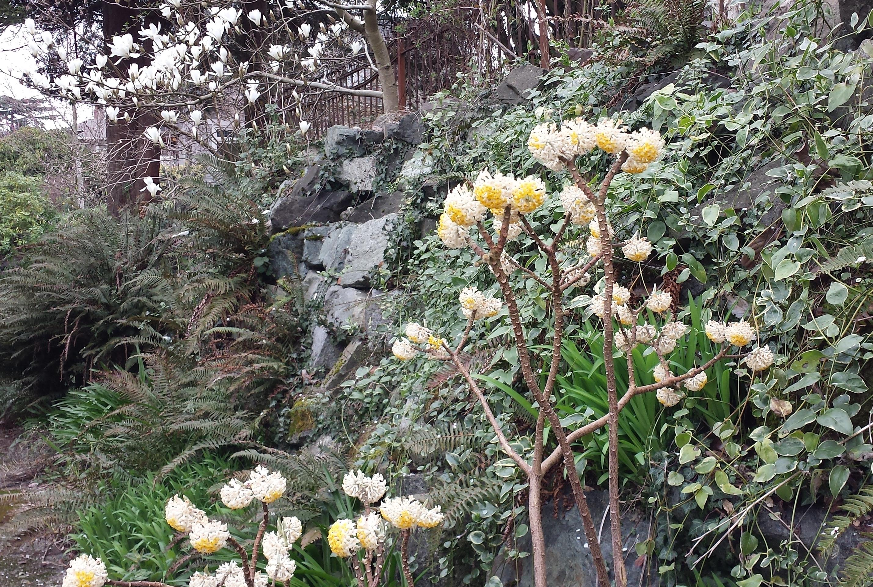 Edgworthia chrysantha wide