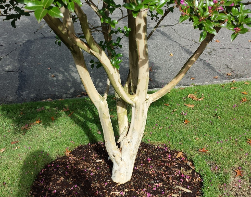 Mature crapemyrtle bark