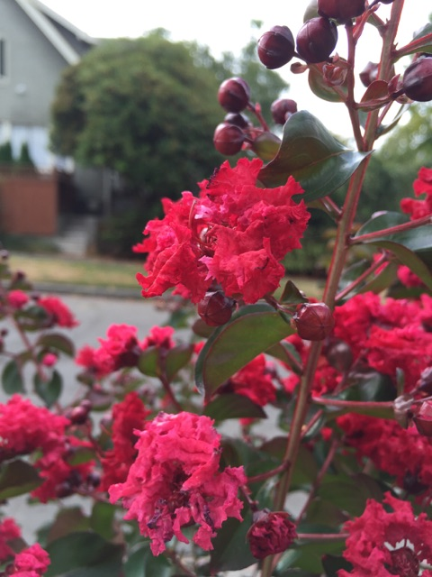 Dynamite crapemyrtle blooms 1