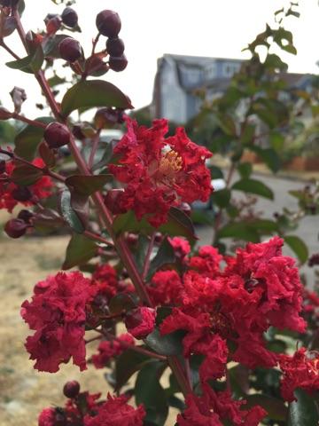 Dynamite crapemyrtle blooms 2