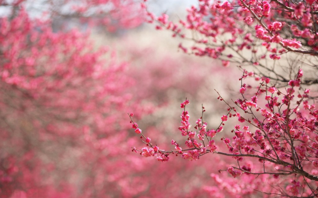 spring-cherry-blossoms